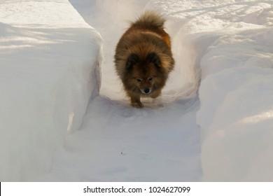 German Spitz on the street in winter sneaks