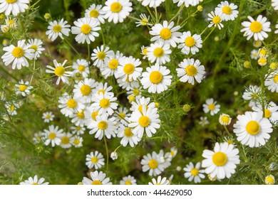 German tea chamomila (Chamomilla recutita) flowers on meadow