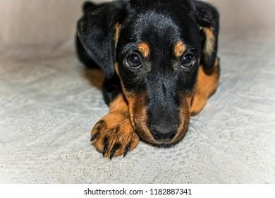 German Terrier puppy