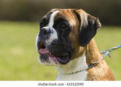 german tiger boxer dog