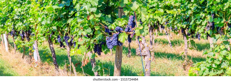 German Vineyard in autumn, banner. Blue grapes in vineyard, Germany. Pinot Noir or Late Burgundian blue grapes on the green grape leaves background