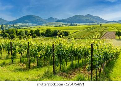 German vineyard landscape in summer, Rhineland-Palatinate, Germany. Deutsche Weinstrasse (German Wine Road) Vineyards Palatinate region