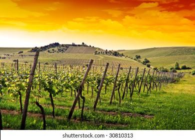 a german vineyard near the rhein river