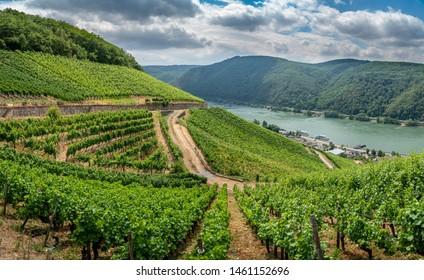 German vineyards in Rudesheim am Rhein