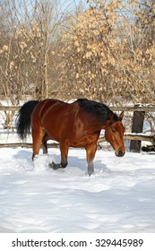 German warmblood horse galloping in the winter paddock