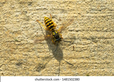 A German wasp is crawling down a concrete wall. It is an introduced species and is also known as a European Wasp. Mississauga, Ontario, Canada.