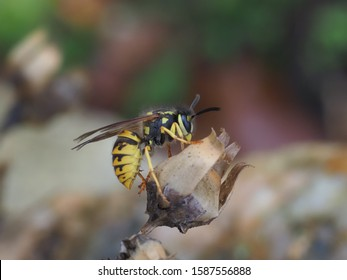 A german wasp rests on an old flower in a nature garden