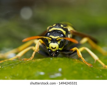 German wasp (Vespula germanica) face and head. Identifying facial markings of social wasp in the family Vespidae. On hot summer days he drinks water from the lake.