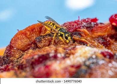 German Wasp (Vespula germanica) feeding on plum cake, Bavaria, Germany, Europe