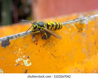 German wasp, yellowjacket (Vespula germanica)