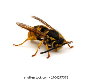 German wasp or German yellowjacket, Vespula germanica isolated on white background