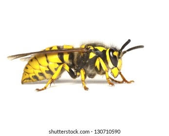 German wasp,or European wasp-Vespula germanica, isolated on white background