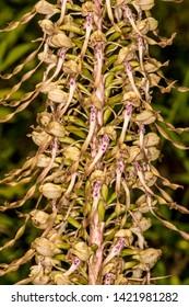 German wild orchid, Lizard orchid