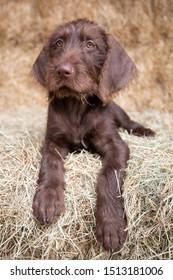 A german wired hair pointer puppy.