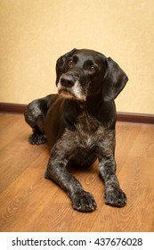 German Wirehaired dog