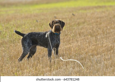 German Wirehaired Pointer Hunting Dog