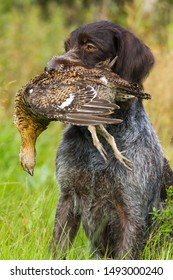 german wirehaired pointer keeps a downed wildfowl (hen blackcock) during hunting