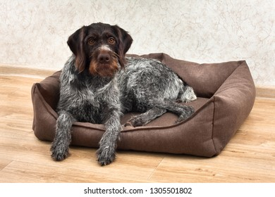german wirehaired pointer resting in a dog bed