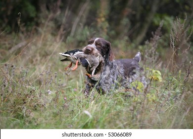 German Wire-haired Pointer retrieving a duck