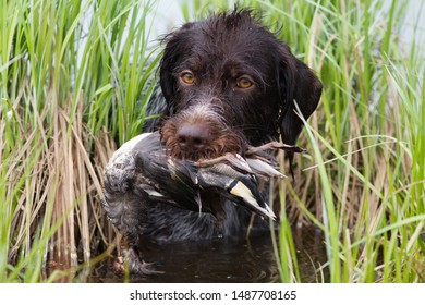 german wirehaired pointer returns downed duck (teal drake) from the shore reeds during hunting