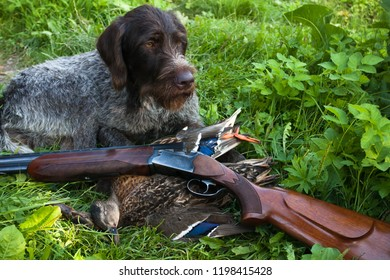 german wirehaired pointer, shotgun and ducks on the grass