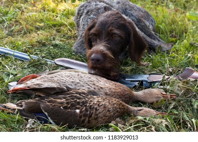 german wirehaired pointer, shotgun and two ducks on the grass