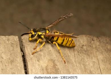 German yellowjacket, European wasp or German wasp (lat. Vespula  germanica), on a wooden board