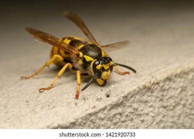 German yellowjacket, European wasp or German wasp (lat. Vespula  germanica), on the white stone