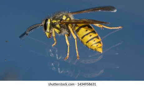 German yellowjacket, European wasp or German wasp (lat. Vespula  germanica), on a blue glass
