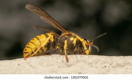 German yellowjacket, European wasp or German wasp (lat. Vespula  germanica), on a white stone