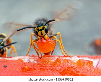 German yellowjacket wasp, Vespula germanica, carrying a piece of sockeye salmon flesh it chewed off of a salmon carcass to take back to its nest to feed developing larvae. Ladner, British Columbia