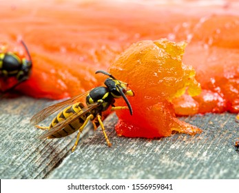 German yellowjacket wasp, Vespula germanica, chewing on a sockeye salmon carcass to remove pieces of flesh to take back to its nest to feed to developing larvae. Ladner, British Columbia