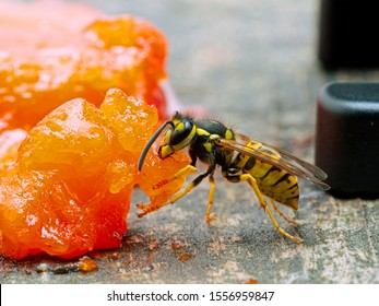 German yellowjacket wasp, Vespula germanica, chewing off a piece of sockeye salmon flesh to take back to its nest to feed developing larvae. Ladner, British Columbia