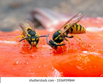 German yellowjacket wasps, Vespula germanica, chewing on a sockeye salmon carcass to remove pieces of flesh to take back to their nest to feed to developing larvae. Ladner, British Columbia