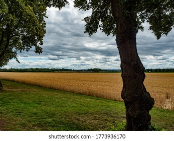 Brühl, Germany, 5 July 2020. Field of golden, ripe ears of grain ready for harvest in summer in the shade of a tree.