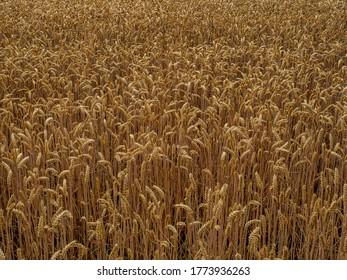 Brühl, Germany, 5 July 2020. Field of golden, ripe ears of grain ready for harvest in summer.