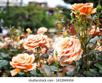 germany Ashram rose. HT[Hybrid Tea Roses]
