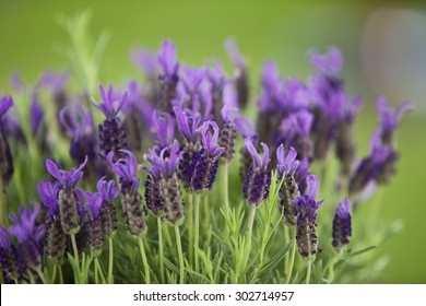 Germany,Close up of lavender flowers