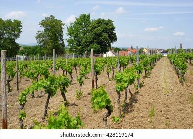 Germanys greatest winegrowing area rhine-hesse in springtime