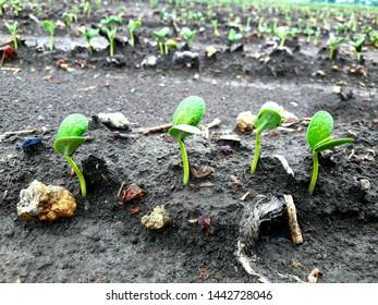 Germinate, soybean plants have germinated. Kharif crop in rainy season.