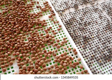 germinated grain.bean and lentil seeds in a seed dresser. Seed preparation for germination.Healthy food