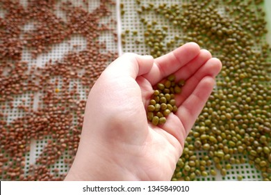 germinated grain.Germinated seeds.bean and lentil seeds in a seed dresser. Hand with grains. Seed preparation for germination.Healthy food