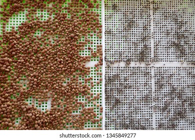 germinated grain.Germinated seeds.bean and lentil seeds in a seed dresser. Seed preparation for germination.Healthy food