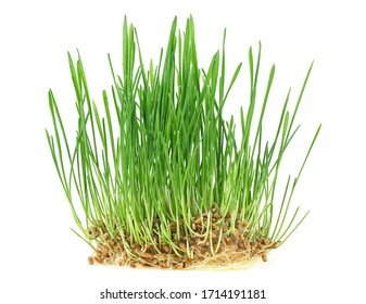 Germinated seeds of wheat isolated on a white background. Plant wheat with roots. Healthy lifestyle. Natural food. Vegan and healthy eating concept.
