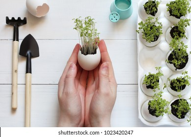 Germinated sprouts in an egg shell in female hands