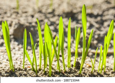 Germinating grain, young plants in the background of plowed soil.