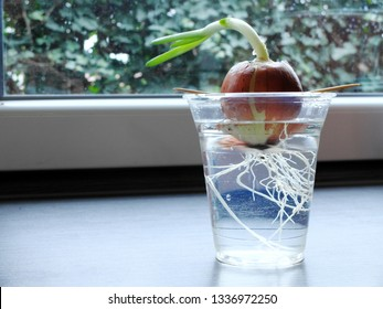Germinating onion in a transparent plastic glass growing on a window sill with visible roots and green herbs directed towards the window. The concept of home grown plants.