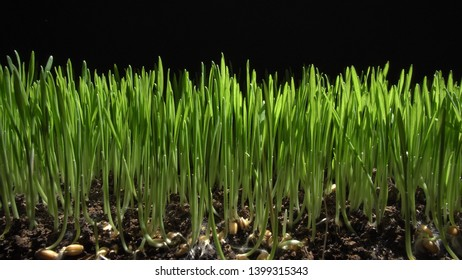 Germinating sprouts of wheat isolated on black background. Close-up