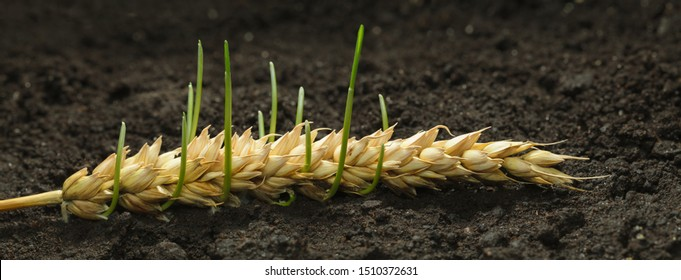 Germinating wheat seeds in old cereal ear - new life, revival concept. Panoramic image from several pictures.