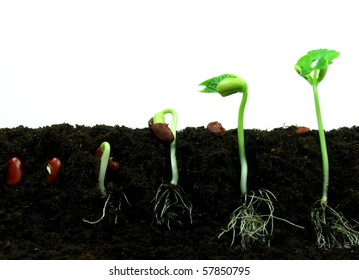 Germination of bean seeds in sequence